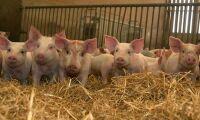 Svensk grisuppfödning toppar lönsamhetsliga