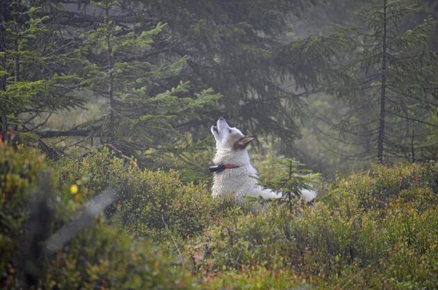 Den skällande fågelhunden släpps på sök i skogen och dess uppgift är att söka rätt på skogsfågel. Här är det en norrbottenspets som hittat tjäder.