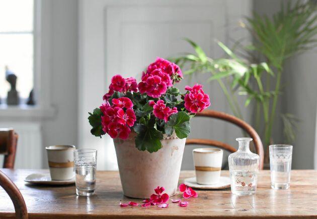 Den heter Tango Deep Rose With Eye och kommer att dansa fint på kökbordet.