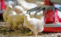 """""""Kycklingproducenterna överväger att sluta helt"""""""