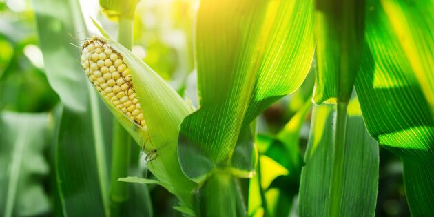 Så skördar du majsen