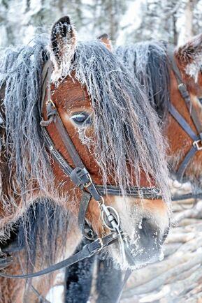 Hästarna går ute året om och besväras inte av kyla.