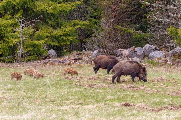 """En ny rapport från tre myndigheter förespråkar att det bör ske riktad jakt på vildsvin kring vad som benämns """"särskilt känsliga grisbesättningar"""". I Sverige beräknas det i dagsläget finnas i storleksordningen 300 000 vildsvin."""
