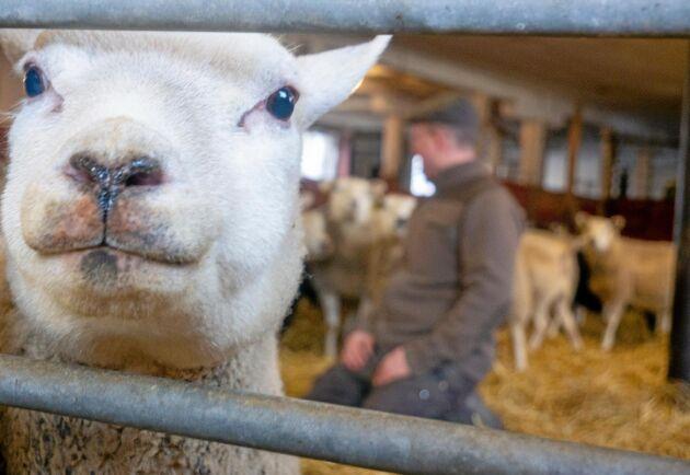 Nu börjar allt fler fårbönder räkna ullen som en intäkt, tidigare har mycket svensk ull hamnat på tippen.