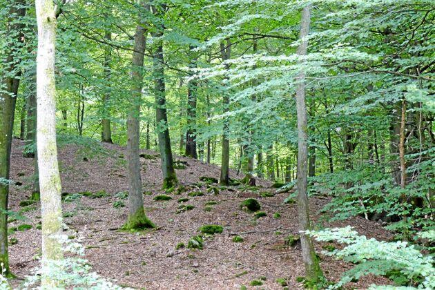 Många bokskogar är för glesa. En aktiv skötsel krävs för att få fram täta och fina bokskogsföryngringar.