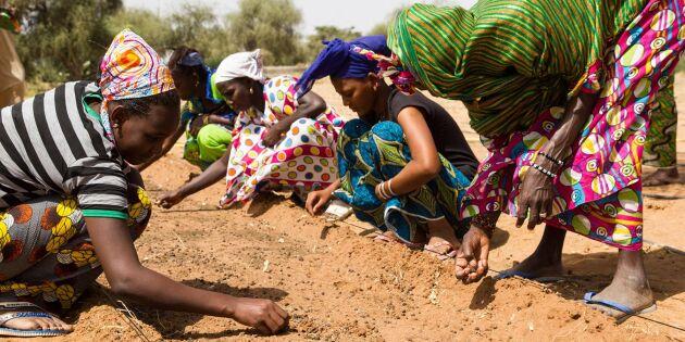 Afrikas gröna mur ger jobb och bättre miljö