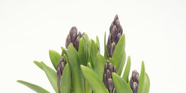 Land avslöjar: Mysteriet med den mångblommiga hyacinten