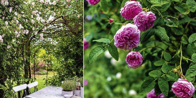 Expertens råd: Så får du friska och starka rosor!
