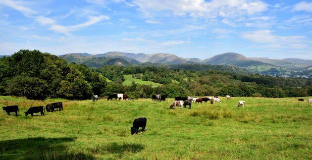 Kor på engelsk landsbygd, bilden har inget med händelsen att göra. Arkivbild.