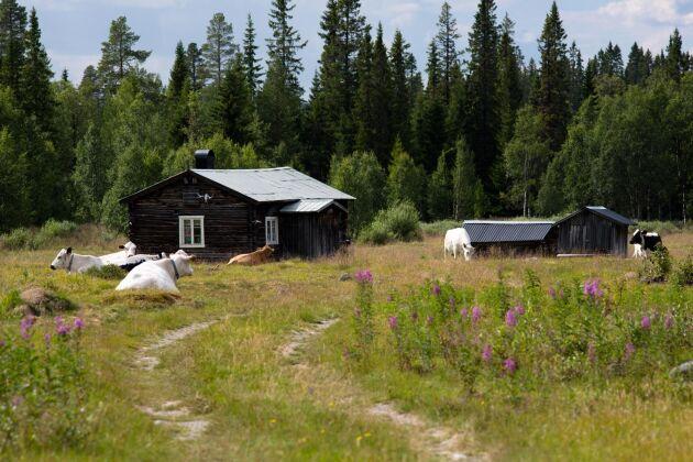Den sista stora nedläggningsvågen av fäbodar I Sverige kom efter andra världskriget då livsmedelsransoneringen upphörde.