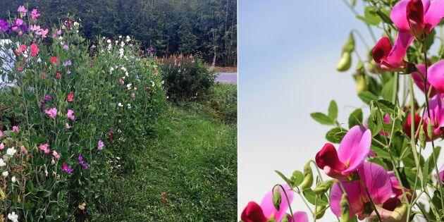 """Ewamay i Järvsö lär dig plantera en luktärtshäck: """"Doften är magisk"""""""