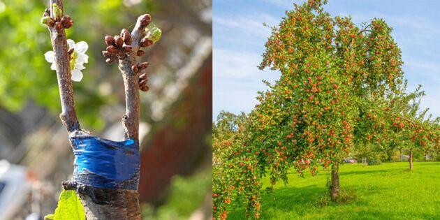 Att ympa ett fruktträd – lär dig allt här