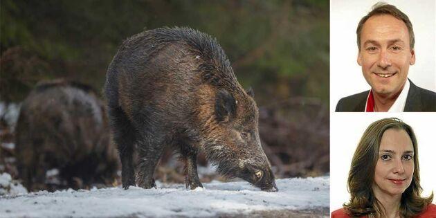 """Debatt: """"Öka jakten på vildsvin och gör det enklare att sälja köttet"""""""