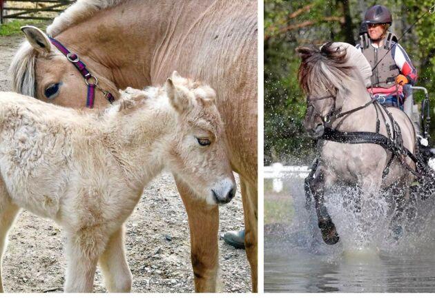 Mellan två och tre föl föds på gården varje år. Till höger Hangvar Kry på marathontävling med kusken Sara Andersson.