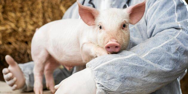 Svenska bönder föredömen när EU stramar åt antibiotikalag
