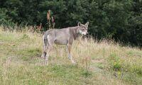 Lägre kostnader per rovdjur i rovdjurstäta län