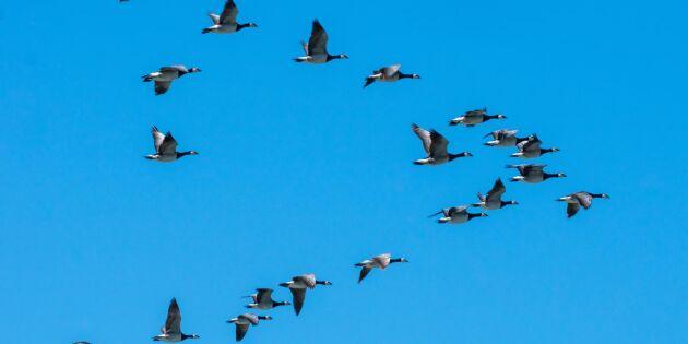 Hela England skyddszon för fågelinfluensa