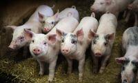"""""""Vi är stolta över vår grisproduktion"""""""