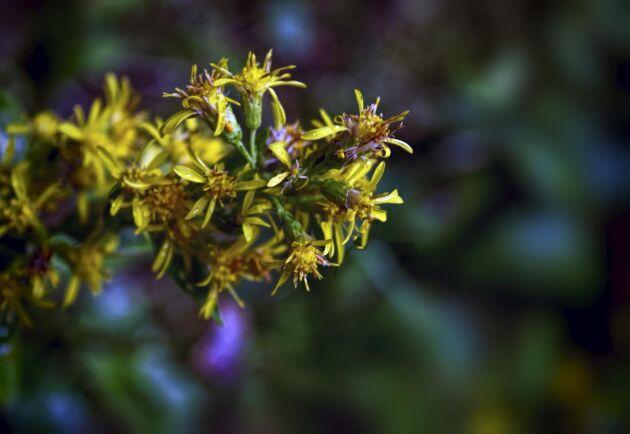 Växter som stånds är giftiga för häst bland annat.