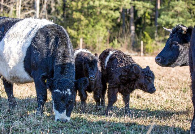 Belted Galloway är en lätt ras som får små kalvar. Födelsevikten ligger normalt på 25-35 kilo. Därför kan rasen med fördel korsas med andra köttraskvigor för att åstadkomma lätta kalvningar.