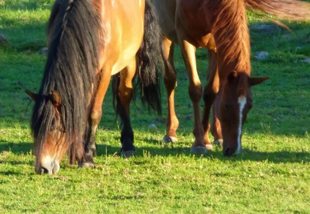 LRF har tillsammans med LRF Konsult under lång tid jobbat med frågan att byggnader för häst ska omfattas av bygglovsfrihet precis som andra ekonomibyggnader på jordbruksfastighet utanför planlagt område.
