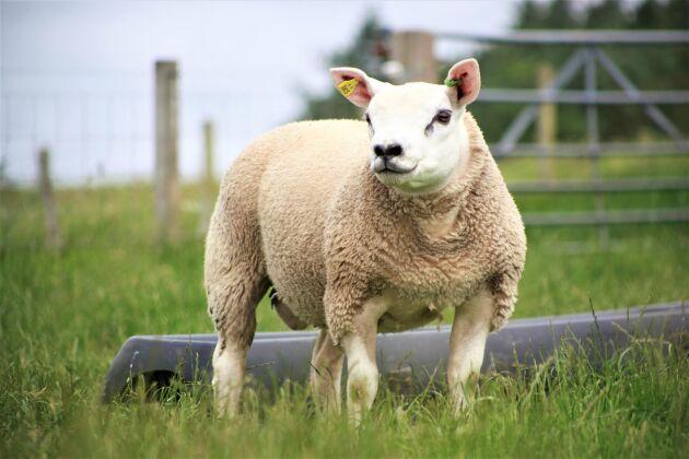 Texel är den största köttrasen i Sverige. Korsas ofta med lantraser i hela Europa.