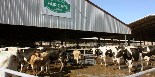 Hettan utmanar mejeriet i Kapstaden