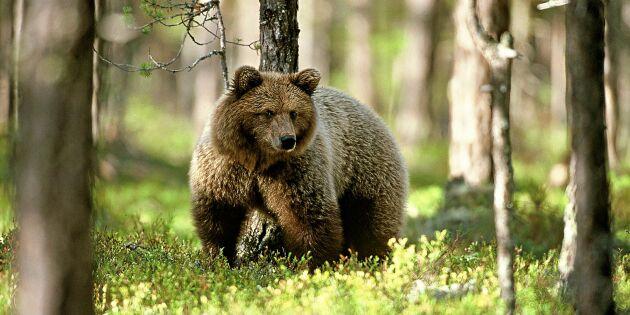 Forskare hittar metod att minska rädsla för björn