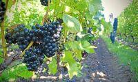 Svenska vinodlare gläds över värmen