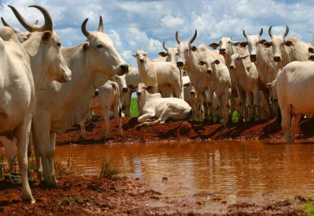 Brasilien är världens näst största nötköttsproducent. De här Zebu-djuren hör hemma på en gård i delstaten São Paulo.