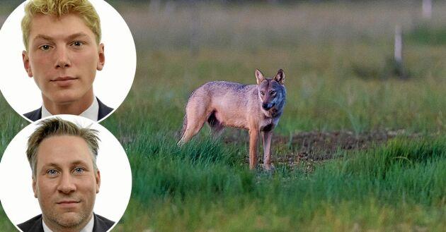 """John Weinerhall (M) och John Widegren (M), skriver i sitt debattinlägg att """"om inte den svenska rovdjursförvaltningen förbehålls Sverige att besluta om, riskeras den biologiska mångfalden""""."""