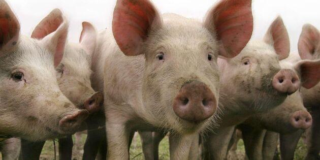 Höjning av priset krävs för grisproduktionen