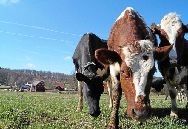 Sommarens väder kan innebära en ökad risk för betande djur att drabbas av mag- och tarmparasiter. Djuren på bilden har inget med händelserna i artikeln att göra.