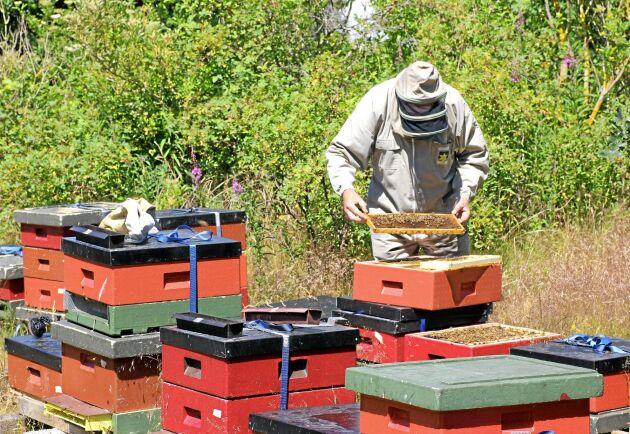 Två bikupor per hektar blommande gröda är en bra måttstock.