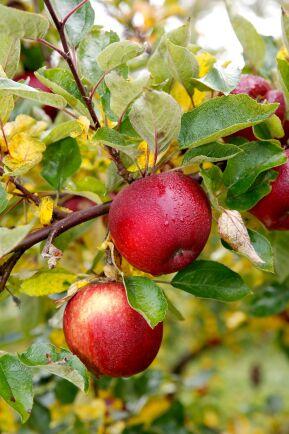 Svenska äpplen kan numer köpas året om på grund av nya lagringmetoder.