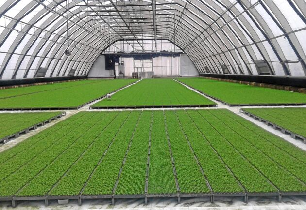 Mikroplantor på Trekantens plantskola.