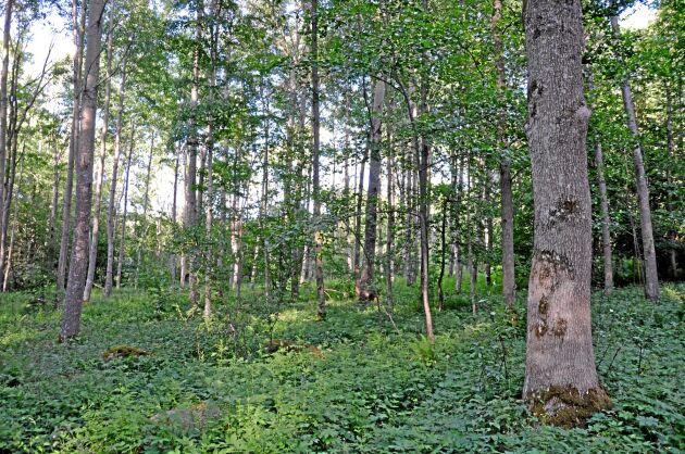 """En myndighet kan aldrig själv hitta på egna regler till exempel """"allmänna råd"""" eller """"instruktioner"""" och grunda sina myndighetsbeslut på dem. Skogsstyrelsens instruktioner för nyckelbiotopsinventering är olagliga och tillämpas av tjänstemän utan tjänsteansvar, anser Sverker Liden."""