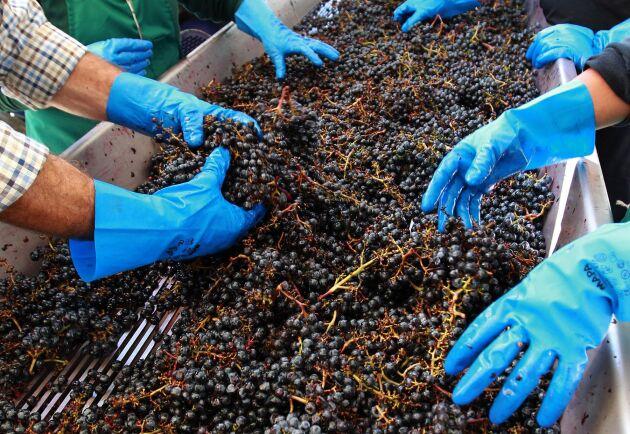 Vin- och fruktodlare i sydöstra Frankrike har lidit stora skador av en storm med hagen stora som pingisbollar. Arkivbild.