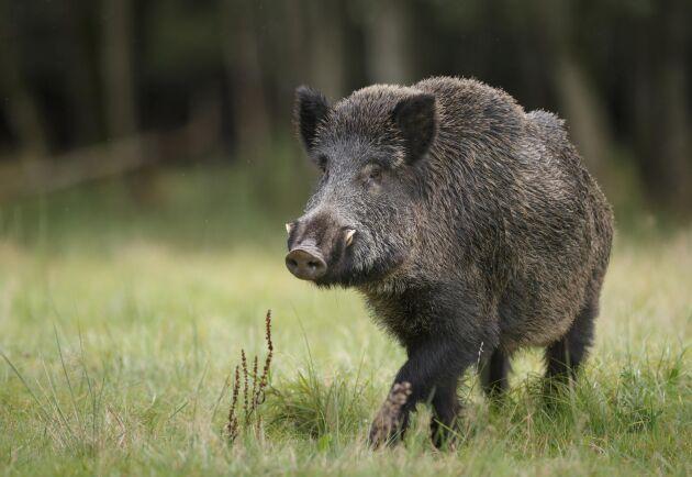 Att ha koll på vildsvinen är viktigt för att upptäcka afrikansk svinpest i tid.
