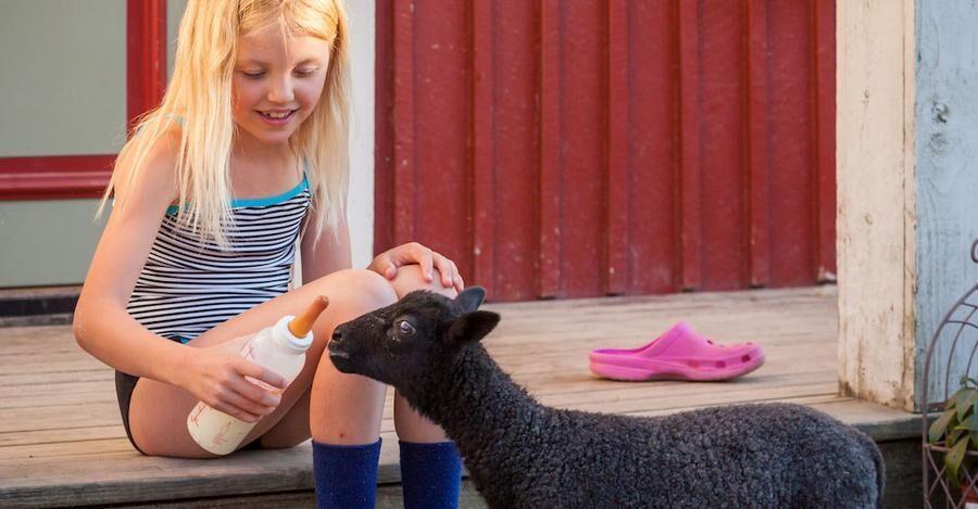 Dotterdottern Lena, 8 år, flaskmatar det övergivna lammet Claes-Göran.