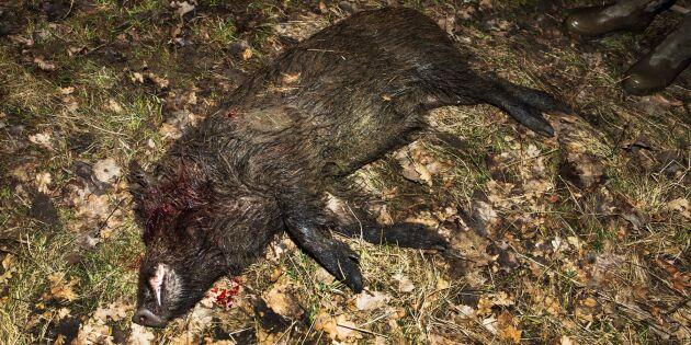 LRF: 146000 skjutna vildsvin räcker inte
