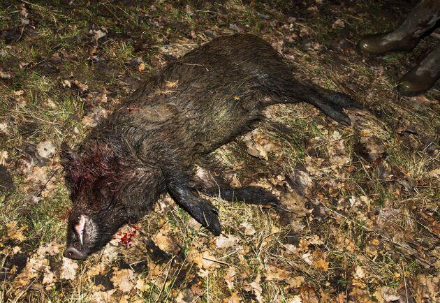 Förra året sköts runt 146000 vildsvin av jägare i Sverige (arkivbild).