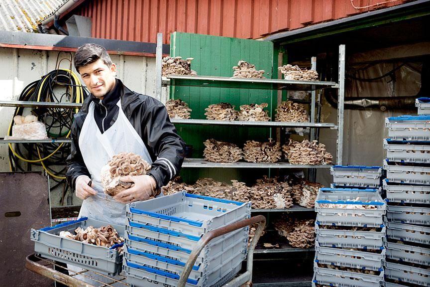 Mahdi Azizi, en av de åtta anställda, plockar av shiitakesvamp utanför de gamla grisstallarna.