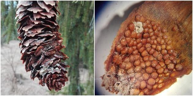 Granfrön hotas av svamp