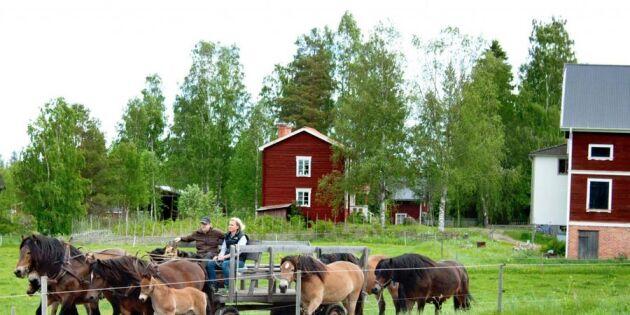 """""""Våra nordsvenskar har huvudrollen här på gården"""""""