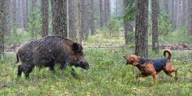 Stopp för vildsvinsjakt med hund