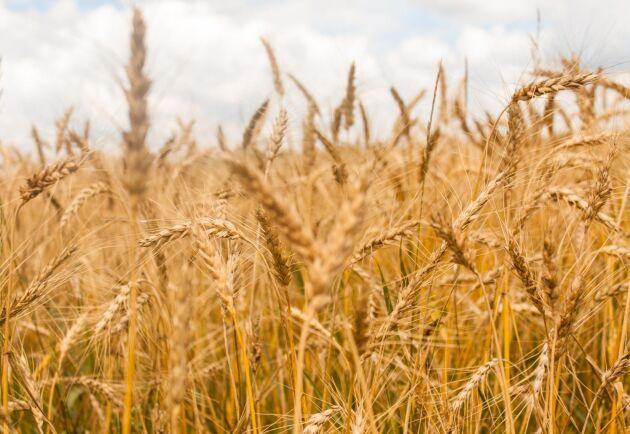 Höstvetearealen svarar för 43 procent av spannmålsarealen och är i år 423 100 hektar. Det är den största arealen sedan den började mätas 1916.
