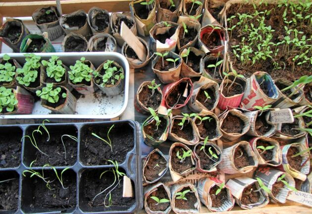 Plantor på gång till årets odlingar. Här spirar säsongens skörd.