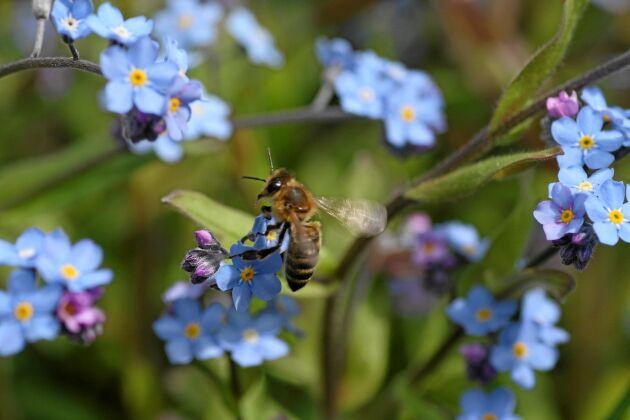 I trädgårdarna har honungsbin mycket att äta.