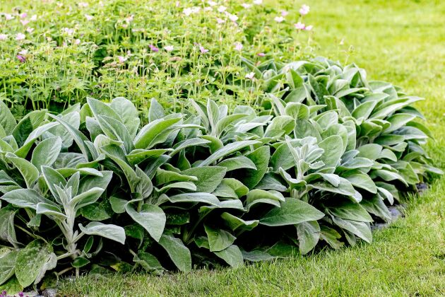Lammöronens gråludna blad fungerar bra som både kontrast- och kantväxt.